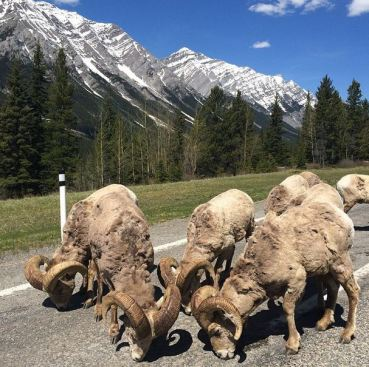 Bighorns in Peter Lougheed