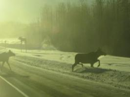 Moose crossing Hwy 43