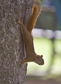 shutterstock_23918593RedSquirrel