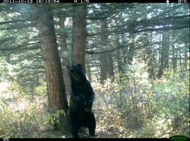 Trail camera catches a grizzly rubbing on one of the rub trees within Waterton Lakes National Park.