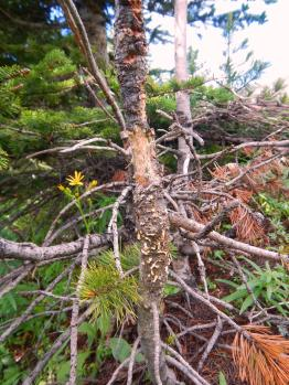 Whitebark pine sapling infected with white pine blister rust