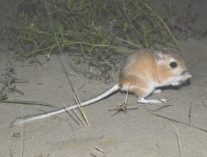 ords-kangaroo-rat-2-full-view-500