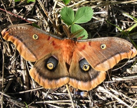 polyphemus-moth-courtesy-of-doug-macaulay-sited-near-whitecourt-500