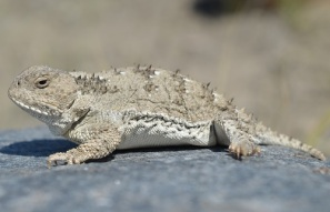 short-horned-lizard-2-on-rock-500