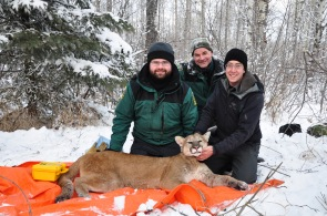 Capture crew – wildlife biologists Justin, Dave and Kevin hard at work
