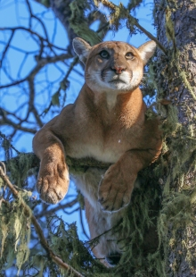 Mtn Lion female_2017