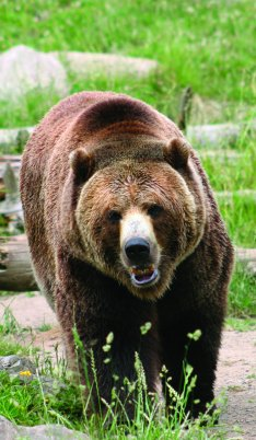 bigstockphoto_Here_I_Come grizzly