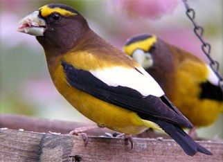 evening_grosbeak_1