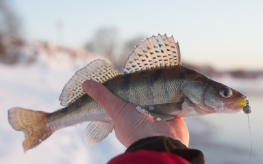 GFX-Twitter--Walleye-01