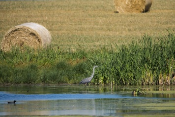Heron by field